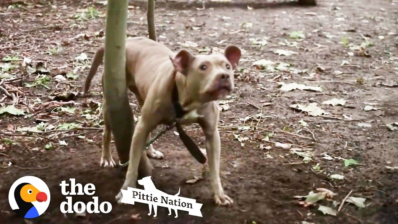 Terrified Pittie Found Chained In The Woods Has The BEST New Life   The Dodo Pittie Nation