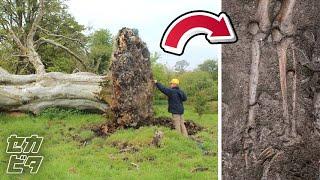倒木の根から恐るべきものが...嵐で偶然見つかった驚愕の物体10選