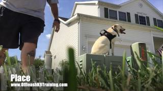 "Check Out Lab ""abby's"" Amazing Before/after Video! Lab Trainers In Northern Virginia"