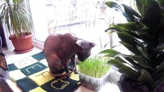 Кот ест траву (сфинкс)