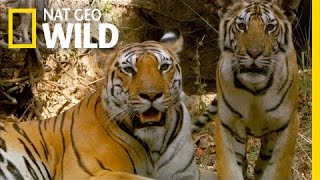 Searching for the Tigress | Secret Life of Tigers