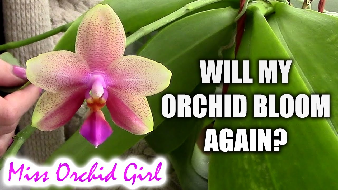 Will My Orchid Bloom Again When Will My Orchid Bloom Youtube