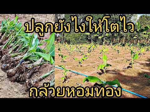 เผยวิธี ปลูกกล้วยหอมทองให้โตไว ปลูกง่าย รายได้ไม่ขาดมือ...