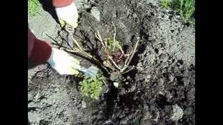 видео Что делать если роза переросла в шиповник