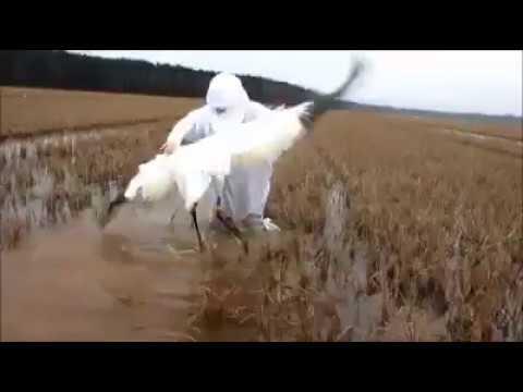 LDWF captures whooping crane