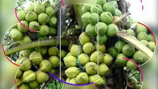 Kỹ thuật trồng dừa sáp hiệu quả nhanh thu hoạch