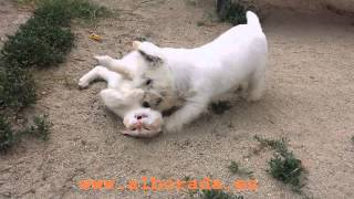 Cachorro Westy Jugando Con Gato, Westie Puppy Playing With A Cat