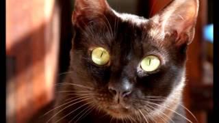 Порода кошек. Гавана.Присутствует сходство с сиамской кошкой.А почему? Смотрите видео .