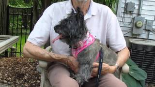 "Cairn Terrier ""ashley"" - Available For Adoption Through Cairn Rescue Usa"