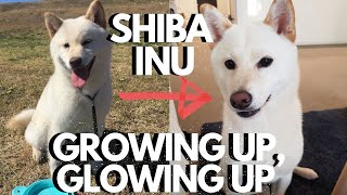 White Shiba Inu Puppy Growing Up 5 Months to 1 Year