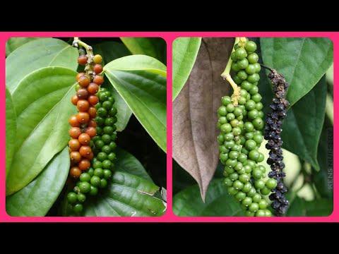 466.Kali Mirch ke podhe ke baare me jaankari/Information about how to grow Black Pepper plant🌱🌾🌿