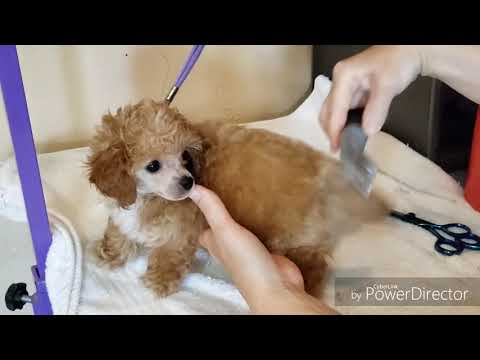 Grooming toy poodle puppy