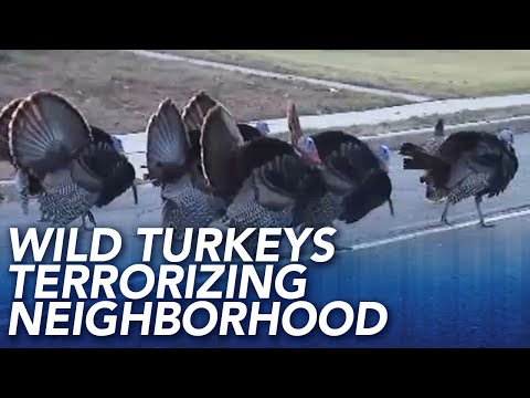 Dan Blackman - South Jersey town being terrorized by Wild Turkeys!
