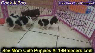 Cock A Poo, Puppies For Sale, In, Nashville, Tennessee, Tn, County, 19breeders, Knoxville, Smith