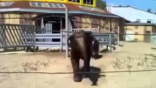 Смышленый слон - Смешное видео 2013