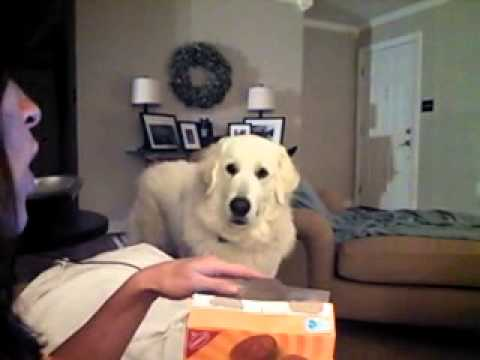 Great Pyrenees Dog Begs for Cookie and Farts