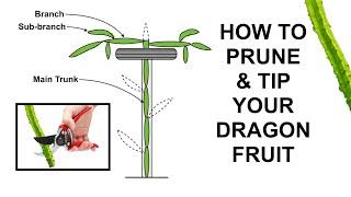 How to Prune aฑd Tip Your Dragon Fruit (Pitaya)