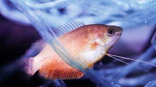 Размножение Медовых Гурами. Нерест и мальки. Аквариумные рыбки. Аквариумистика.