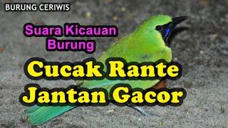 Download Suara Kicauan Burung Cucak Rante, Ranting Jantan Gacor Cocok Buat Masteran