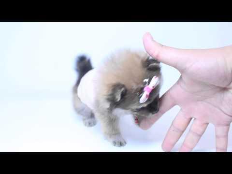 super-triple-coat-female-pomeranian-puppy-by-puppyheaven.com