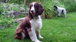 English Springer Spaniel - Maessr: Cooper Iii