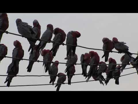 Birds on a Wire, Eucla, Western Australia