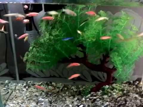 Peces cebra youtube for Peceras con peces