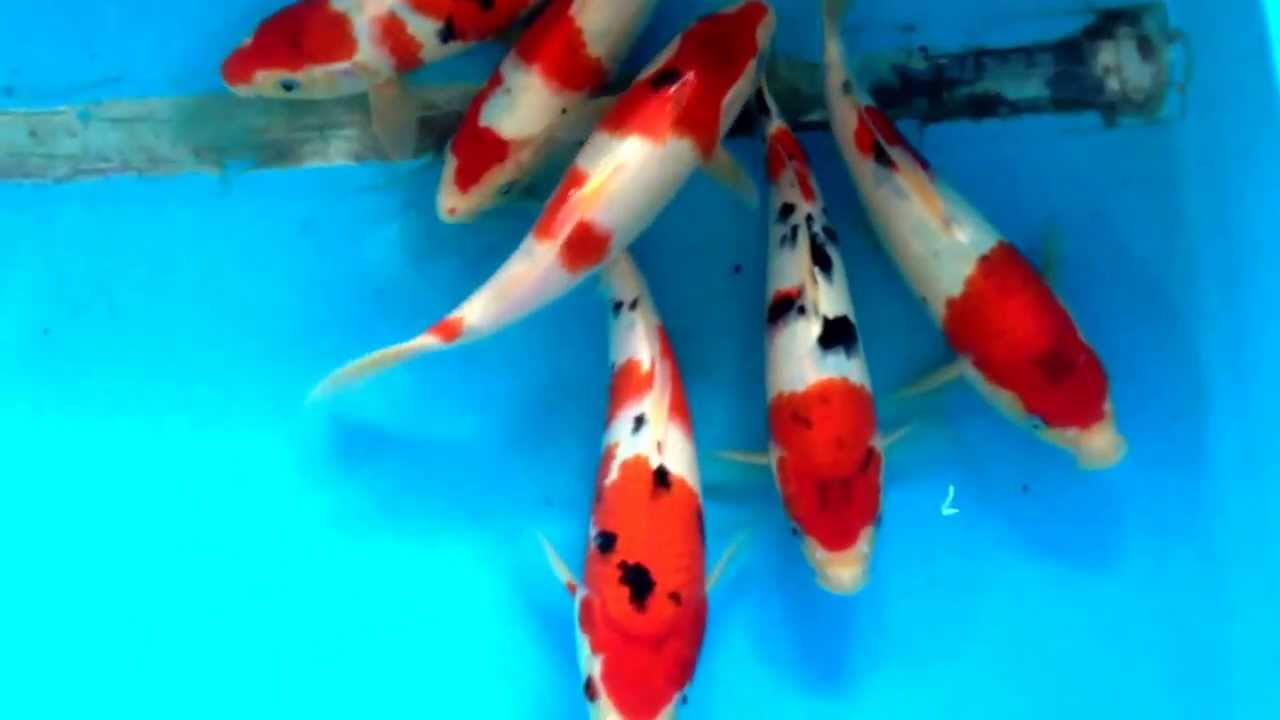Marugen Koi Farm High Quality Taisho Sanke Koi Fishes