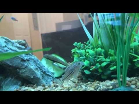 False flying fox / False Siamese algae eater