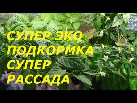 РАССАДА ПЕРЦА РАСТЕТ КАК НА ДРОЖЖАХ !!! ЭКОЛОГИЧЕСКАЯ НАРОДНАЯ ПОДКОРМКА   подкормить   перикикись   болгарский   подкормка   пикировка   водорода   рассады   рассада   перца   перец