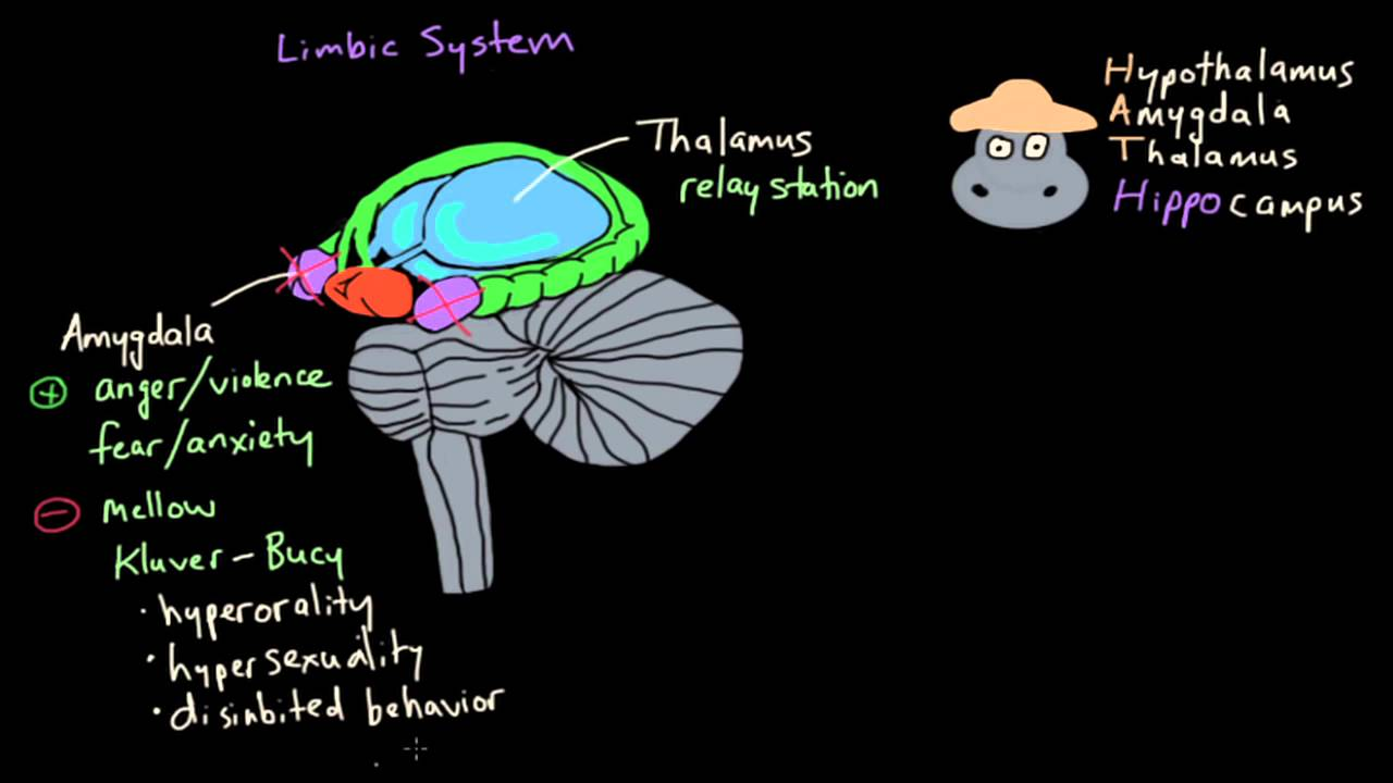 Emotions - The Limbic System - YouTube Limbic System Emotion