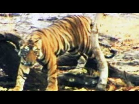 Save Our Tigers: Helping local communities develop alternative livelihoods