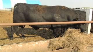 КРС американской  породы Абердин Ангус#ангус #быки#angus#aberdeenangus#bulls