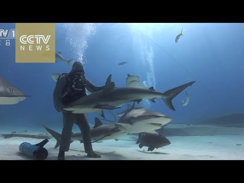 Ayo - Video: Scuba Lady drops to ocean floor, removes hooks from shark's mouths.