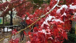 Tokyo's version of 'November snow'