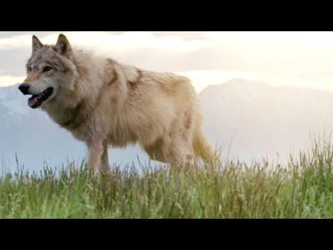Why Elk Calves Are Undetectable to Yellowstone's Wolves