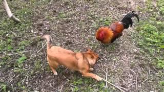 Kogut zielononóżki w konfrontacji z psem