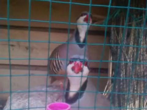 Keklik Ötüşü-Keklik Sesi