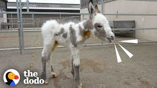 Orphaned Baby Donkey Cried For Days Until He Found A New Mom   The Dodo