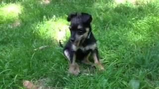 Toby -yorkie/schnauzer Mix Pup