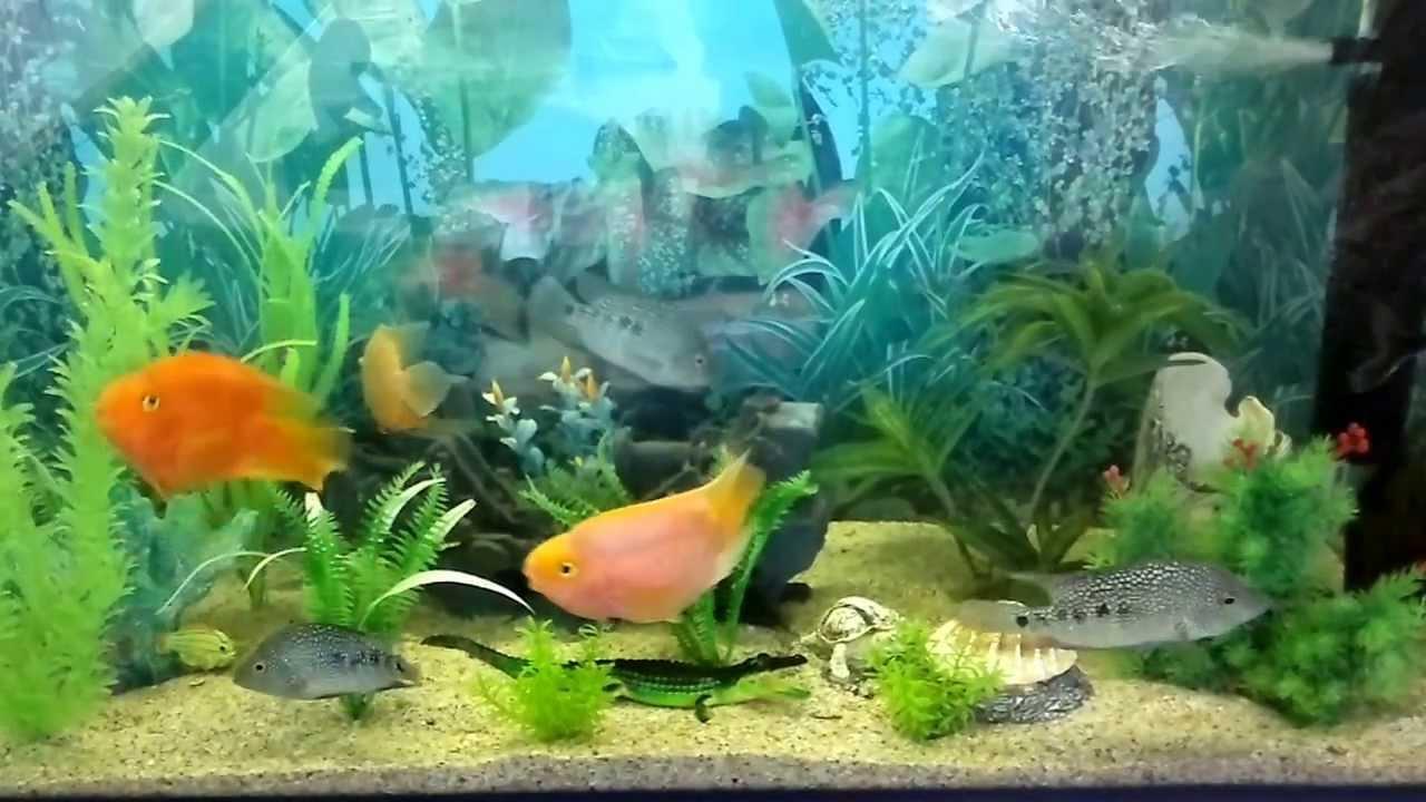 akvarium baliqlari sheki youtube