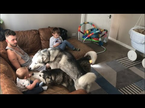 Who does my husky dogs love more?? (Mum, Dad, Kade or baby Parker)