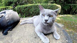 【灰色猫】新入りのロシアンブルーと茶シロ猫先輩が友達になる!?