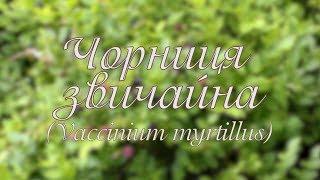 Чорниця звичайна. Vaccinium myrtillus