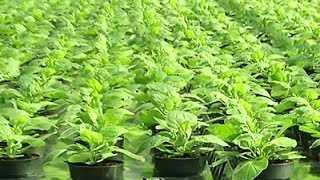 Popular Videos - Tobacco plants & Food