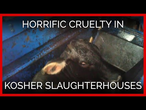 Horrific Cruelty Filmed in Kosher Slaughterhouses