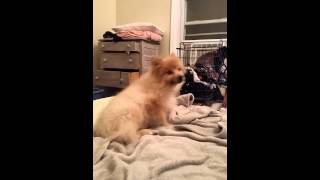 Pomeranian Trachea Collapse Or Allergies Or Kennel