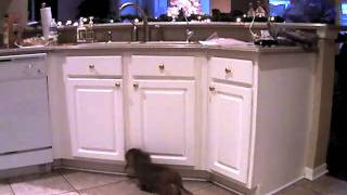 Mini Longhair Dachshund Steals Toy From Closed Cabinet! Cute!