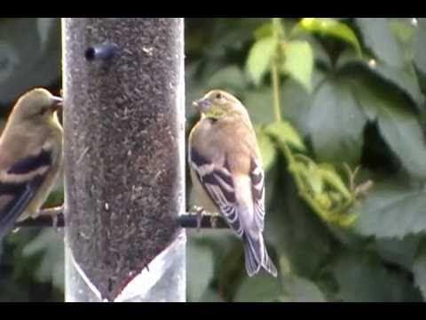 canary seeds how to make