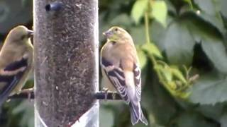 American Goldfinch Wild Canary Backyard Niger Seed Birdfeeder And Homemade Debris  Tray